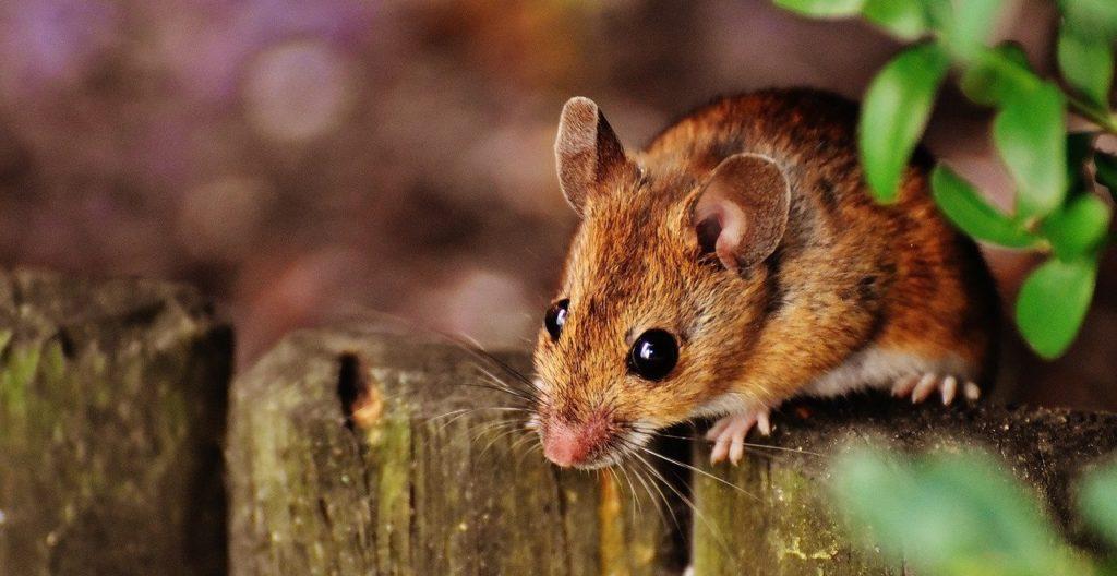 הדברת עכברים בדרום